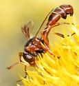 Waspoid -  Ichneumonoidea? - Physocephala texana - female