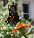 Black Swallowtail - Papilio polyxenes - female