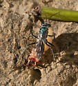 wasp and prey - Auplopus - female