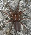 Spider - Euagrus chisoseus