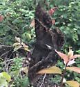 Black witch moth? - Ascalapha odorata