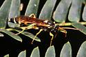 unidentified Ichneumonidae 3 - Ichneumon ambulatorius - male