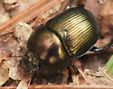 Beetles - Geotrupes splendidus