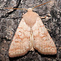 Orange Moth - Sunira decipiens