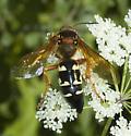 Cicada Killer on Cicuta - Sphecius speciosus