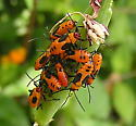 bug - Oncopeltus fasciatus