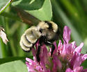 Which bombus, please-us? - Bombus fervidus - female