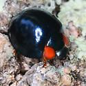 Curinus coeruleus - Metallic Blue Lady Beetle - Curinus coeruleus