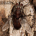 Tachinid Fly - Trixodes obesus