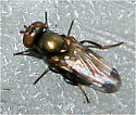 Picture-Winged Fly - Euxesta notata - female