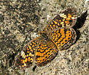 Painted Lady? - Phyciodes tharos