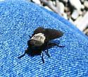 Big Fly - Tabanus punctifer - female