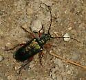 beetle - Anthophylax cyaneus