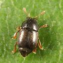 Short-winged Flower Beetle - Brachypterus urticae
