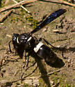 Yellow-belted wasp - Monobia quadridens