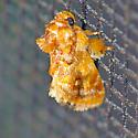 Small stubby moth - Isochaetes beutenmuelleri