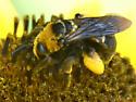 Bumblebee?? - Svastra obliqua