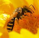 Bee - Halictus ligatus - female