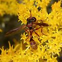 Conopidae - Physocephala texana