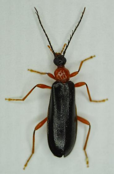 Fire-colored Beetle - Dendroides canadensis