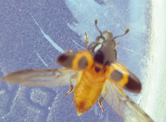 Nit takes flight - Glischrochilus sanguinolentus