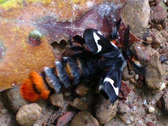 both a moth and a caterpillar - Hemileuca maia