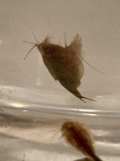 Is this even a bug? - Triops