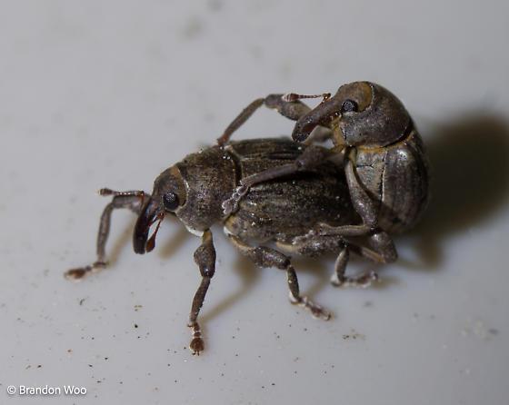 Neochetina eichhorniae - male - female