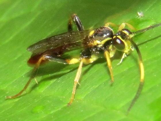 unknown ichneumonid - Cratichneumon - male