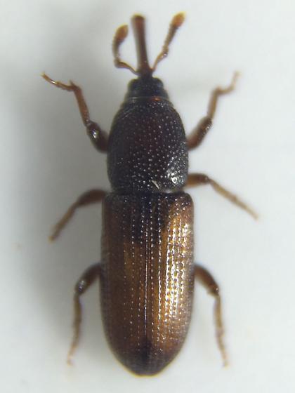 Mesites subcylindricus