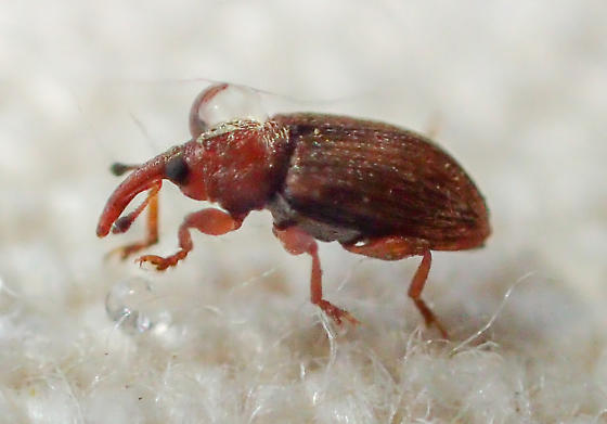 Small weevil