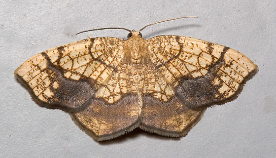 Horned Spanworm Moth - Nematocampa resistaria