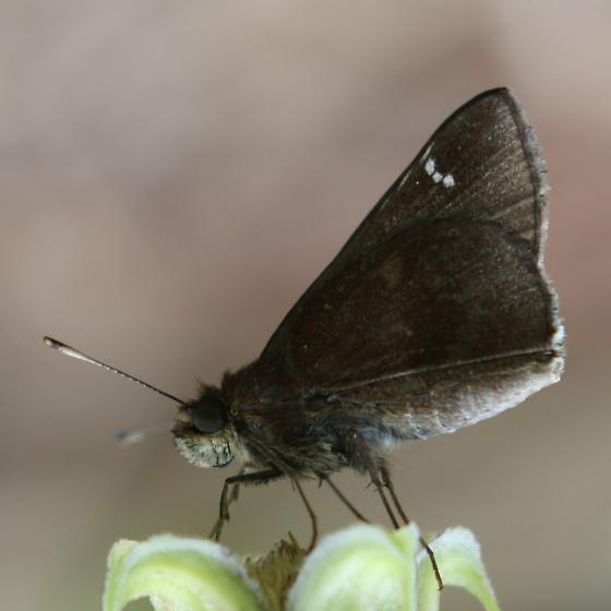 Grass Skipper on Clematis viorna - Lerema accius - female
