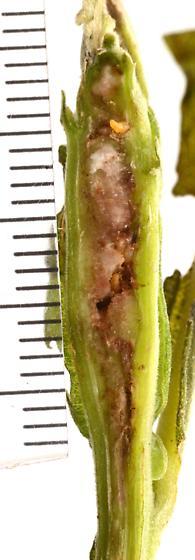 Neolasioptera from Verbesina virginica - Neolasioptera imprimata