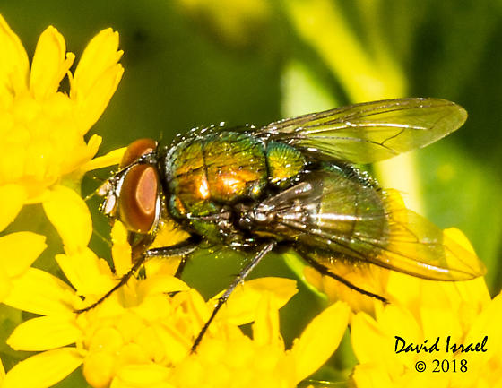 Fly - Lucilia - male