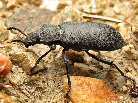 Darkling Beetle - Iphthiminus serratus