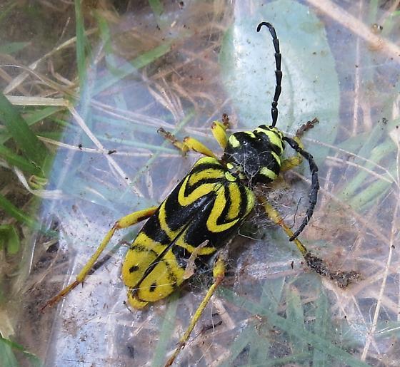 Wasp Beetle? - Glycobius speciosus