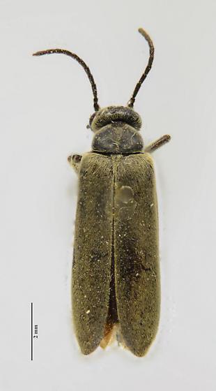 Blister Beetle - Epicauta
