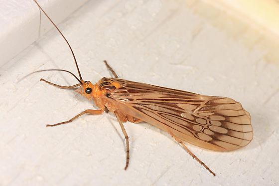 huge caddisfly - Hydatophylax argus