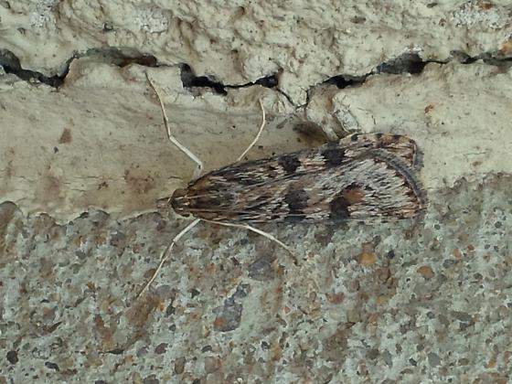moth sp - Nomophila nearctica