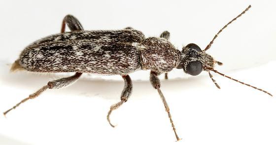 Tenebrionoidea? - Duboisius