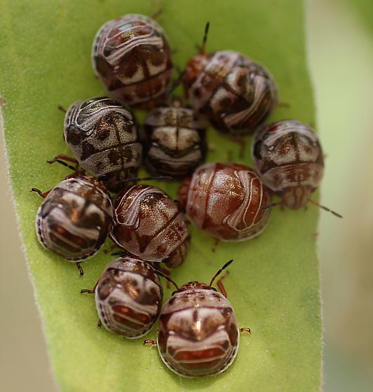 Type of Beetle?