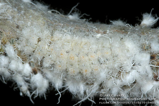 Harvester butterfly larva - Feniseca tarquinius