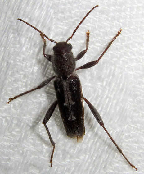 Unidentified Beetle - Xylotrechus sagittatus