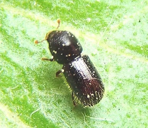 Beetle - Ambrosiophilus atratus