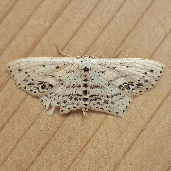 Geometridae: Scopula cacuminaria - Scopula cacuminaria
