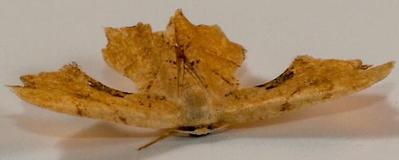 Moth to porch light  - Calledapteryx dryopterata