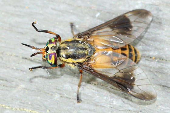 Deer Fly - Chrysops lateralis - female