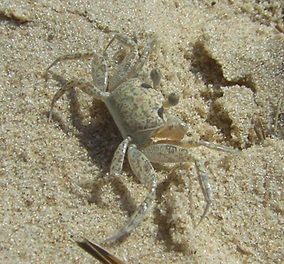 Ghost crab in New Jersey - Ocypode quadrata