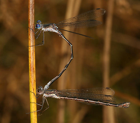 mating spreadwings - Lestes congener - male - female